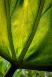 Detail eines großen, hintergrundbeleuchteten grünen Blattes Lizenzfreie Stockfotos