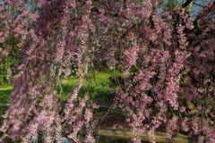 Detail eines Higan-Kirschbaums in der vollen Blüte Stockfotografie