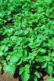 Detail eines jungen Kartoffelfeldes Lizenzfreies Stockbild