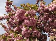 Detail eines Kirschbaums stockfotos