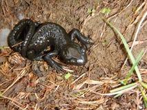 Detail eines kleinen schwarzen Salamanders Stockfoto