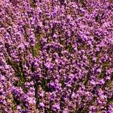 Detail eines Lavendelfeldes der Anlagen Lizenzfreies Stockfoto