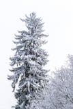 Detail eines Nadelbaums bedeckt mit Schnee Lizenzfreie Stockfotos