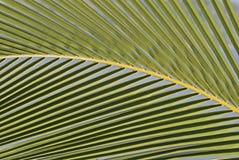 Detail eines Palmblattes Lizenzfreies Stockfoto