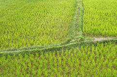 Detail eines Reises Paddy Field - Vang Vieng, Laos Lizenzfreie Stockbilder