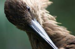 Detail eines tropischen Vogels, der seine Federn säubert Lizenzfreie Stockfotos