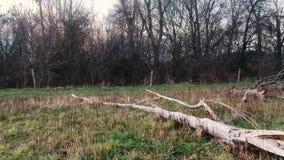 Detail eines weißen Stammes eines gefallenen Baums stock video