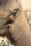 Detail of elephant Royalty Free Stock Photo