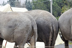 detail of elephant in captivity Royalty Free Stock Photos