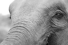 Detail of an elephant head Stock Photo