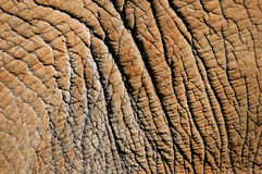 Detail of elephant skin Stock Photos