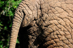 Detail of elephant skin Royalty Free Stock Image