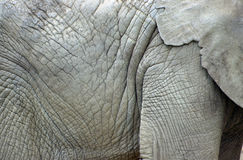 Detail of elephant skin Royalty Free Stock Photography