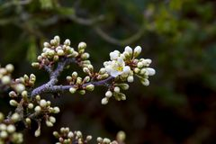 Detail of emerging flowers in spring on a Shohin Blackthorn Bonsai tree Stock Images