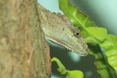 Escambray Bearded Anole. The detail of Escambray Bearded Anole stock image