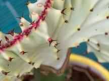 Detail of euphorbia lactea cristata Stock Photos