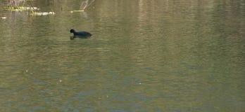detail of Eurasian coot on the lake stock image