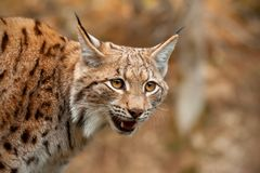 Detail of Eurasian lynx looking down searching for prey. With mouth open. Wild predator on a hunt royalty free stock photo