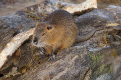 Detail of european beaver sitting in the sun Royalty Free Stock Photos