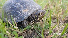 Detail of European pond turtle Emys orbicularis or European pond terrapin in grass, hiding the head in the shell. Close up, light breeze, sunny day, dynamic stock video footage