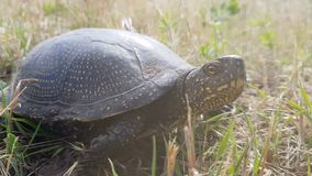 Detail of European pond turtle Emys orbicularis or European pond terrapin in grass, hiding the head in the shell. Close up, light breeze, sunny day, dynamic stock footage