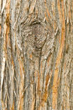 Detail of the European yew, taxus baccata Stock Photo