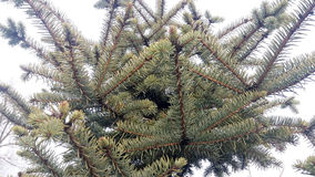 The detail evergreen tree Abies alba Royalty Free Stock Image