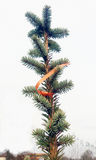 The detail evergreen tree Abies alba Royalty Free Stock Photos