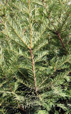 The detail evergreen tree Abies alba Stock Image