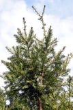 The detail evergreen tree Abies alba Stock Photo