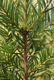 The detail evergreen tree Abies alba Stock Photography
