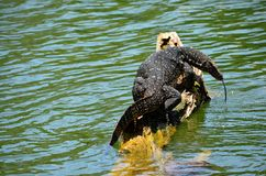 Detail of exotic amphibian, Srí Lanka Royalty Free Stock Photo