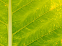 Detail of an exotic leaf at Koh Mook Island, Thailand Royalty Free Stock Photography