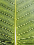 Detail of an exotic leaf at Koh Mook Island, Thailand Stock Photo