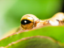 Detail of eye of Common Tree Frog - Hyla leucomystax Stock Photography