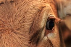 Detail of an eye of a Norwegian Cow royalty free stock photo