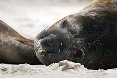 Detail eye portrait Elephant seal, Mirounga leonina. Seal on the sand beach. Elephant seal with peel off skin. Big sea animal in t Stock Images
