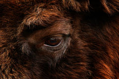 Detail eye portrait of European bison. Fur coat with eye of big brown animal in the nature habitat, Czech republic, Art view of bi. G animal eye royalty free stock photos