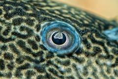 Detail of eye of suckermouth fish Royalty Free Stock Photos