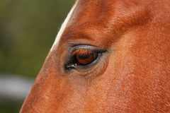 Detail of the eye of young brown stallion Stock Photo