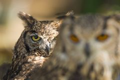 Look of an owl hiding behind a friend royalty free stock image