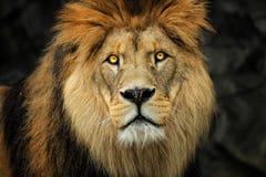 Detail face berber lion. Portrait majestic lion. Detail face Berber lion with yellow eyes. Photo from world of animals stock image