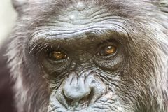 Detail of the face of a chimpanzee stock images