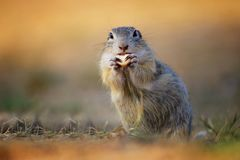 Detail face suslik from family squirel royalty free stock images