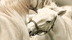 Detail face white horse stock photography