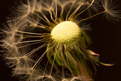 The Detail of the faded Dandelion Stock Photos