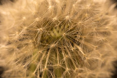 The Detail of the faded Dandelion Royalty Free Stock Photography