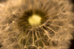 The Detail of the faded Dandelion Stock Images