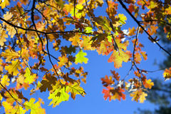 Detail of Fall Oak Leaves. Detail of back lit crimson red, orange, and green Autumn Oak Leaves against royal blue sky Stock Photo