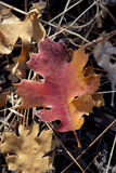 Detail of Fall Oak Leaves Royalty Free Stock Photography